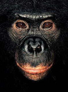 #monkey#chimpanze         James Mollison