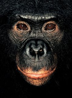 #monkey#chimpanze         James Mollison