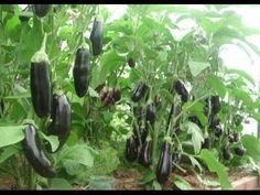 Como plantar BERINJELAS orgânicas em vasos ou no solo, facilmente!!! - YouTube