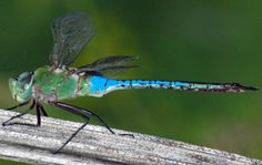 Citizen Scientists Needed for the Migratory Dragonfly Partnership – Entomology Today