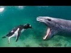 Documentary Leopard Seals The Lords of Ice National Geographic Documenta...