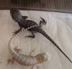 The Lifespan of a Bearded Dragon Depends on Proper Care - Exotic Bearded Dragons Dragon Names, Pet Dragon, Cute Reptiles, Reptiles And Amphibians, Cool Pets, Cute Dogs, Dragons, Bearded Dragon Cage, Baby Animals