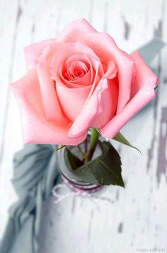 Single Flower discovered by Ʈђἰʂ Iᵴɲ'ʈ ᙢᶓ on We Heart It Beautiful Rose Flowers, Love Rose, Amazing Flowers, My Flower, Beautiful Flowers, Flower Car, Pink Roses, Pink Flowers, Rose Reference
