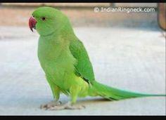 My poems are my emotions. Cute Birds, Pretty Birds, Beautiful Birds, Wolverhampton, Cute Baby Animals, Funny Animals, Green Parrot Bird, Ring Necked Parakeet, Feeling Helpless