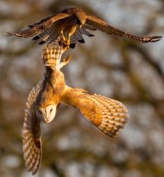 the dramatic moment a kestrel swooped down on an unsuspecting owl and tried to make off with his lunch.