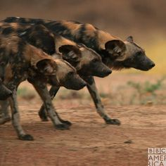 Wild Animals 361273201357946640 - The way these wild dogs move in unison Source by amteadrinker African Hunting Dog, African Wild Dog, Nature Animals, Baby Animals, Cute Animals, Wild Animals Photography, Wildlife Photography, Wild Photography, Animal Activities
