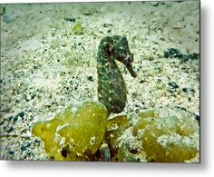 Did you know that seahorses mate for life, seahorses are a fish and seahorses are bad swimmers ! Art Prints For Sale, Any Images, Artist Names, Got Print, Artist At Work, Fine Art America, Seahorses, Swimmers, Wall Art