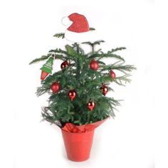 Costa Farms Living Pine Tree 6 in. Norfolk Island Red Decorations with Mylar and Topper-ARD6 at The Home Depot