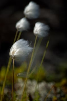 photographer:Vladimir Grishkin; Cotton grass, a common plant across the North, growing in muskeg or on the tundra.