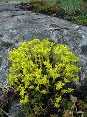 Keltamaksaruoho Plants, Plant, Planets