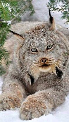 Lynx ~ in the snow - look at the size of those paws!