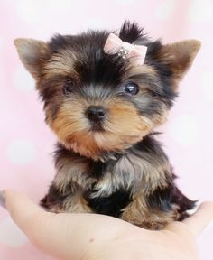 Browse tiny Teacup, Micro Teacup and Toy Yorkshire Terrier puppies for sale. Browse to find the tiniest and cutest Yorkie puppies for sale in South Florida area Teacup Yorkie For Sale, Yorkies For Sale, Teacup Cats, Yorkie Puppy For Sale, Teacup Puppies For Sale, Toy Puppies, Cute Puppies, Yorkie Puppies, Mini Yorkie