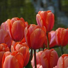 Eindrucksvoll: die Tulpe 'Apricot Impression'. Pflanzzeit ist im Herbst. Online bestellbar bei www.fluwel.de