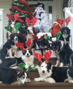 It's a Border Collie Christmas!....