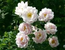 ROSA 'JUHANNUSMORSIAN' FINE morsionruusu Juuri puhjennut vaaleanpunainen puolikerrannainen kukka haalistuu vähitellen valkoiseksi. Se tuoksuu raikkaasti ja kohtalaisen voimakkaasti. Kesäkuun loppupuolella alkava kukinta kestää noin kaksi viikkoa. Kukat sijaitsevat yksittäin edellisen vuoden versoissa. Ruskeanpunaisia, naurismaisia kiulukoita kehittyy runsaasti. Pieni, himmeänvihreä lehdistö on syksyllä kellanruskea–violetti. Kapeahko ja pysty pensas haaroo runsaasti ja kasvattaa paljon…