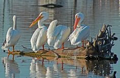 A personal favorite from my Etsy shop https://www.etsy.com/listing/232066233/nature-photography-great-white-pelicans