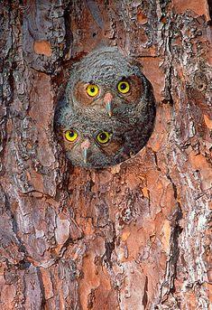 Eastern Screech Owl (Megascops asio) chicks in nest cavity, Texas