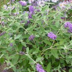 Buddleja davidii FREE PETITE 'Blue Heaven' Buddleja Davidii, Heaven, Plants, Blue, Sky, Plant, Butterfly Bush, Planting, Planets