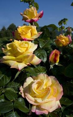 Snap Shots Hybrid Tea Roses peace Suggestions Cross tea will be the e. Snap Shots Hybrid Tea Roses peace Suggestions Cross tea will be the e. Beautiful Roses, Yellow Flowers, Beautiful Flowers, Rose Meilland, Planter Rosier, Roses Only, Parfum Rose, Peace Rose, Flower Meanings