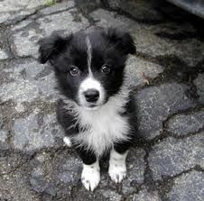 border collie puppy looks like dog Mickey