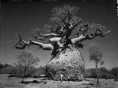 The Incredible Photography of Elaine Ling Baobab: Tree of Generations In some of the most arid and infertile regions of Africa, Madagascar, and Australia the Baobab tree grows to enormous size. Baobab Tree, Image Of The Day, The Little Prince, Growing Tree, Art Plastique, Bonsai, African, The Incredibles, Pictures