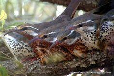 Roosting Subdesert Mesites Madagascar, Highlights, Owl, Tours, Bird, Animals, Animales, Animaux, Owls