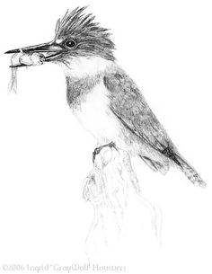 Belted Kingfisher by Illahie on DeviantArt