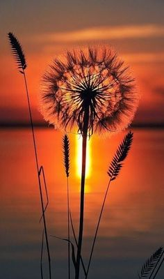 Dandelion sunset ✿⊱╮