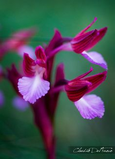 Anacamptis papilionacea growing in the wild in San Nicandro, Garganico, Puglia, Italy; by claudiodelfuoco
