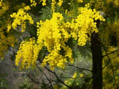 mimosa branch yellow flowers - mimosa photo - images free - photo free ...