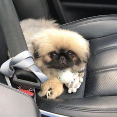 Disco 🕺🏼 (discothepekingese) on Somegram • Posts, Videos & Stories #somegram Road Trip 🐶 • • • • • • #dogsofinstagram #puppys #pekingeselove #pekingesepuppy #dog #pekingese #puppy #puppylove #puppies #doglovers #lovedogs
