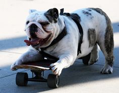 My son Matthew Robinson loved skateboarding. He would love to have this bulldog to skateboard with