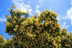 Australian Native Frangipani (Hymenosporum flavum) flower mass.