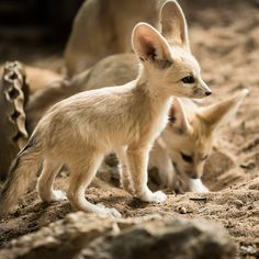 The fennec fox, also called the desert fox, is a beautiful, small individual from the vulpine family. Fennec foxes can be kept as pets, despite the fact that they are not extremely normal. Fennec Fox Pet, Pet Fox, Young Animal, My Animal, Cute Baby Animals, Animals And Pets, Beautiful Creatures, Animals Beautiful, African Wild Dog