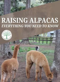 Raising Alpacas – Everything You Need to Know * The Homesteading Hippy If you're thinking about raising alpacas, we've put together this very comprehensive guide, detailing every possible aspect of how to take care of these adorable animals. Barnyard Animals, Cute Animals, Barn Animals, Anime Animals, Animals Beautiful, Funny Animals, Alpaca Facts, Raising Farm Animals, Farm Animals List
