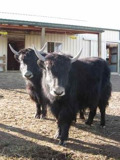 114 Best Fun With Yaks Images Musk Ox Hello This Is Dog