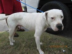 Urgent Dogs of Miami r · DOG (A1682256)I am a male white Dogo Argentino. The shelter staff think I am about 2 years old. I was turned in by my owner and I may be available for adoption on 02/24/2015. https://www.facebook.com/urgentdogsofmiami/photos/pb.191859757515102.-2207520000.1425250043./934447396589664/?type=3&theater