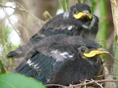 Tūī chicks have wide mouths - their beaks change as they get older! Mouths, Craft Activities, Getting Old, Kiwi, Wings, Change, Getting Older, Ali