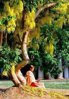 Myanmar Mandalay Palace Meditating under the rain tree Golden Rain Tree, Bay Of Bengal, Under The Rain, Burma Myanmar, Mandalay, Brunei, Dream Garden, Horticulture, Southeast Asia