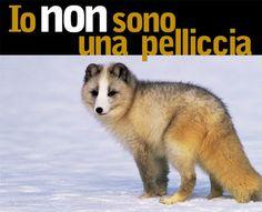 PETALI DI CILIEGIO ...per coltivare la speranza: In difesa degli animali: volpi, ermellini e tutti ...