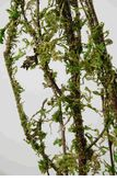 Natural Coastal Range 5'  Moss Covered Branches (3-4 branches/ bundle ) $9.99 bundle/ 3 bundles  $9 bundle