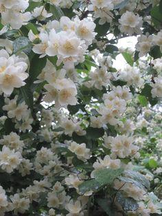 Mock orange (Philadelphus) - lovely when in full bloom. Jasmine Plant, Mock Orange, Flowering Bushes, White Flowers, Plants, White Gardens, Amazing Flowers, Beautiful Flowers, Moon Garden