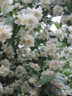 Mock orange-jasmins-lovely.