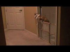 A Corgi curses his short stature for the time. Yup, mine all could do this too. Sold the gate at my yard sale. Fat Corgi, Corgi Gif, Corgi Funny, Cute Corgi Puppy, Pembroke Welsh Corgi Puppies, Puppy Grooming, Corgi Pictures, Farm Dogs