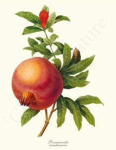 Pomegranate - Grenadier punica Vintage Fruit Botanical Art Print Illustration. $19.95