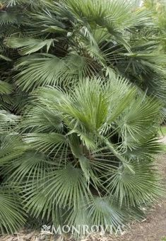 Mediterranean Fan Palm (Chamaerops humilis) - hardy to zone 8, slow grower, 10 to 15 feet tall and wide