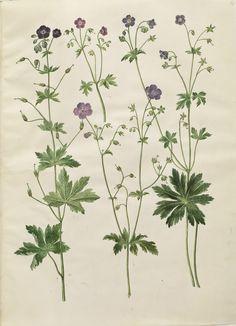 Geranium phaeum; Geranium sylvaticum, KKSgb2950/16