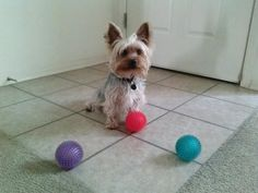 Choices, choices. . .  Chester the Yorkshire Terrier - Yorkie