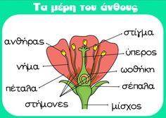 Τα μέρη του άνθους - Αφίσα School Life, Back To School, Plant Science, Science For Kids, Preschool Activities, Trees To Plant, Diy For Kids, Biology, Planting Flowers