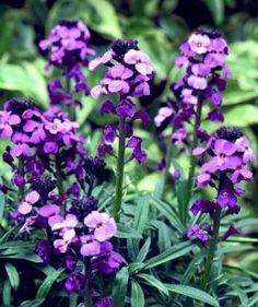 "Erysimum ""Bowles  Mauve"" is a perennial wallflower that prefers sun and well drained soil.  BransfordWebbs"